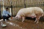 Беларусь ограничила ввоз свинины из-за африканской чумы свиней