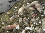 Мясо от китайских больных свиней может появиться в Украине
