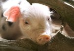 Бельгийские супермаркеты прекращают продажу мяса кастрированных поросят из сострадания