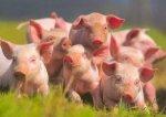 Украинское свиноводство получит 54 млн. евро от МФК