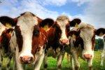 Украина: Мясо-молочное производство ударно стартовало в 2014 году