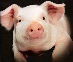 Ассоциация свиноводов прогнозирует рост производства свинины