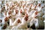 Союз птицеводов рассчитывает на увеличения квот со стороны ЕС