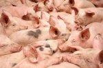 Вопрос о снятии ограничений по экспорту украинской свинины в ТС еще рассматривается — Госветфитослужба