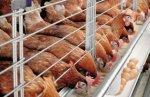 Полтавская птицефабрика на треть увеличила чистую прибыль