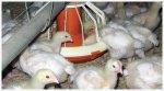 Украинских птицеводов заинтересовали рынки Азии и Африки