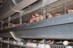 В Японии уничтожают кур... птичий грипп наступает