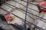 Украинские аграрии стали больше выращивать свиней и птицы — Госстат