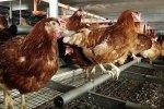 Экспорт мяса птицы в Украине увеличился на 172 тыс. тонн